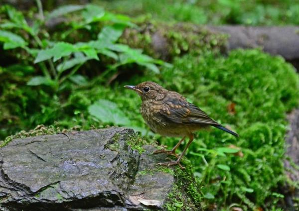 コルリ幼鳥 -023