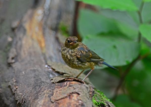 コルリ幼鳥 -031