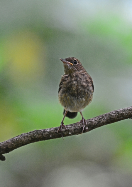 コルリ幼鳥 -022