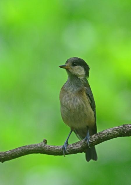 ヤマガラ幼鳥 -131