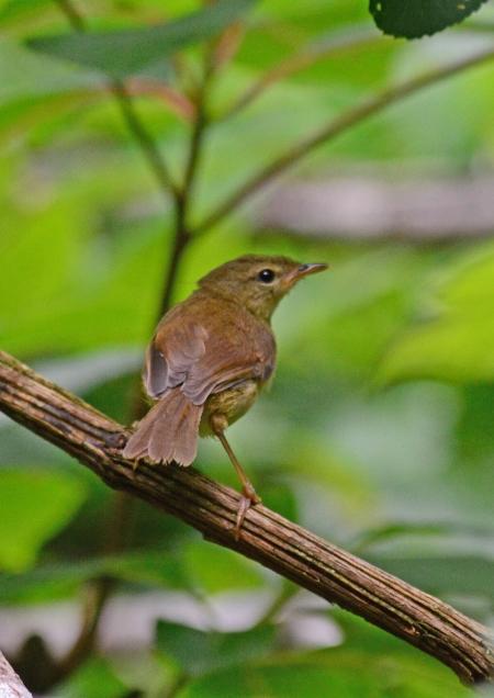 ウグイス幼鳥 -026
