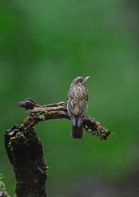 キビタキ幼鳥 -132