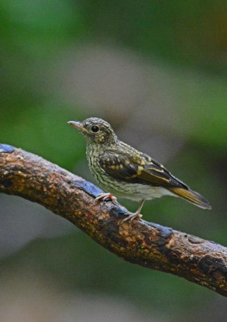 キビタキ幼鳥 -153