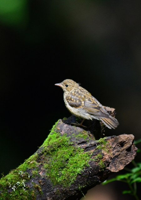 キビタキ幼鳥 -170