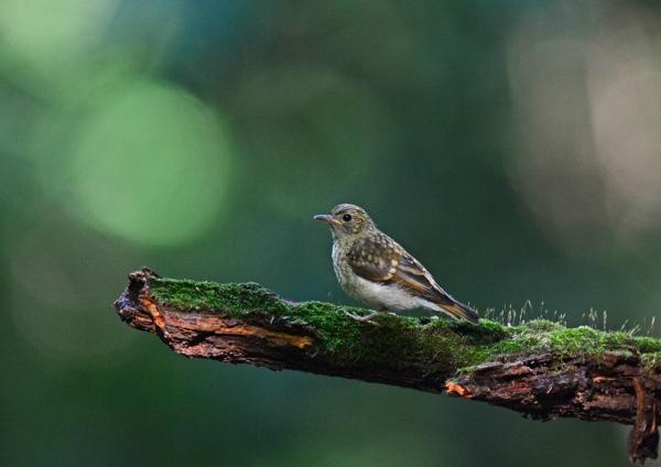 キビタキ幼鳥 -188