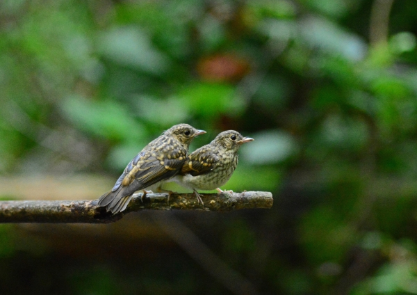 キビタキ幼鳥 -206