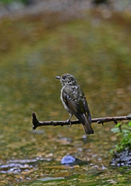 キビタキ幼鳥 -059