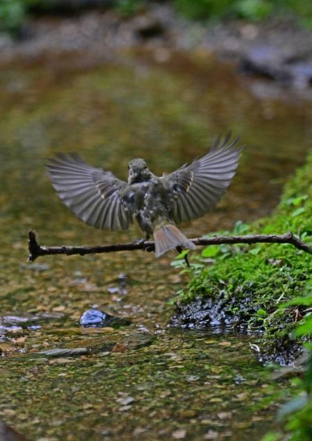 キビタキ幼鳥 -060