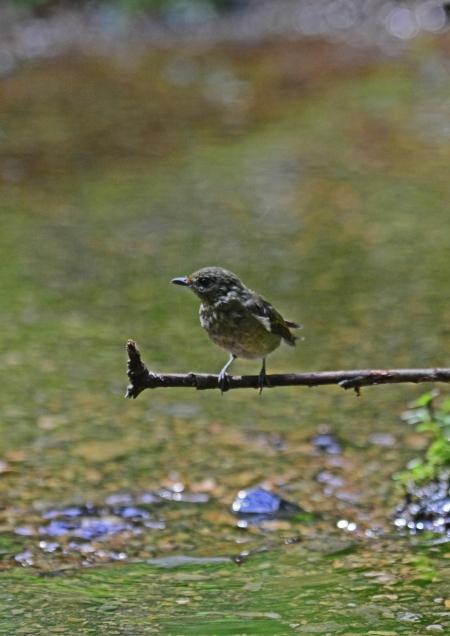 キビタキ幼鳥 -091