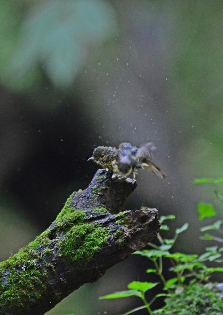 キビタキ幼鳥 -180