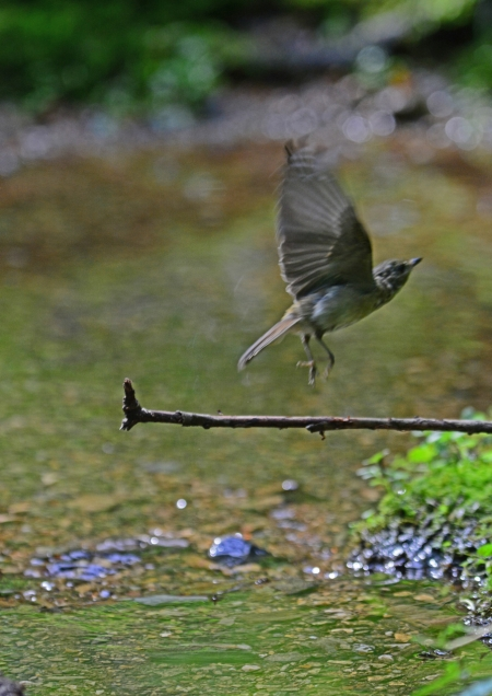 キビタキ幼鳥 -093