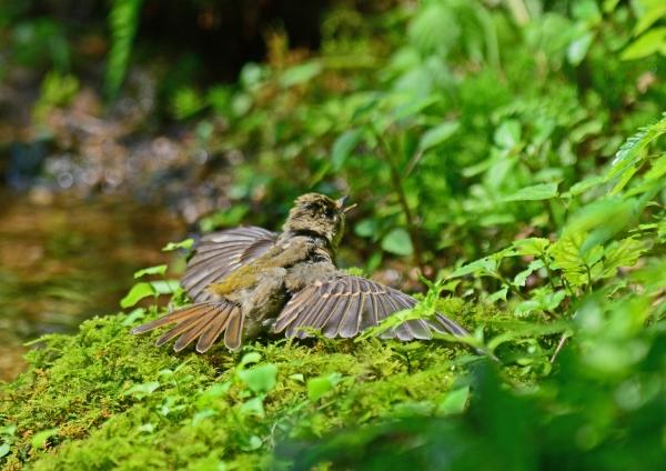 キビタキ幼鳥 -019