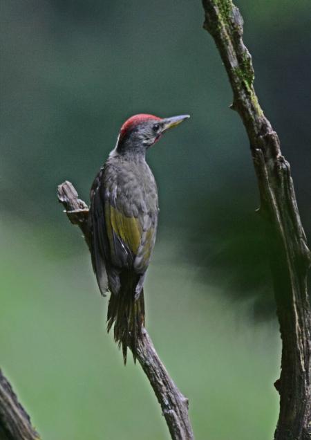 アオゲラ幼鳥 -040