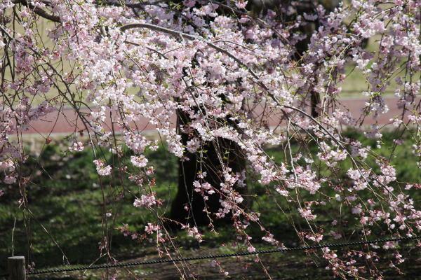 さくらの里枝垂桜2
