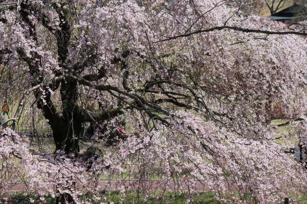 さくらの里枝垂桜①