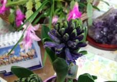 紫ヒヤシンス