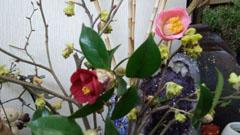 玄関の山茶花