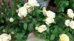 ミニバラ 黄色