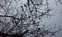 20日の桜