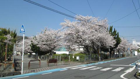 白蛇公園 桜