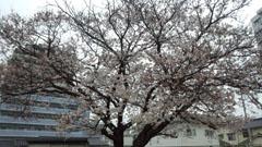 29日の公園 桜 1