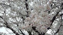 29日の公園 桜 2