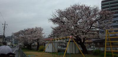 29日の公園 桜
