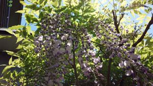 今年の藤の花1