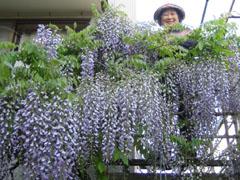 去年の藤の花 母