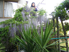 去年の藤の花