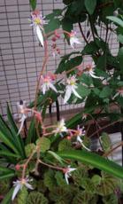ユキノシタの花a