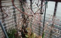 ユキノシタの花b