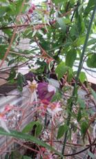 ユキノシタの花c