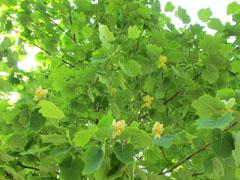 ポプラの花