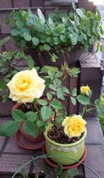 黄色ミニバラ