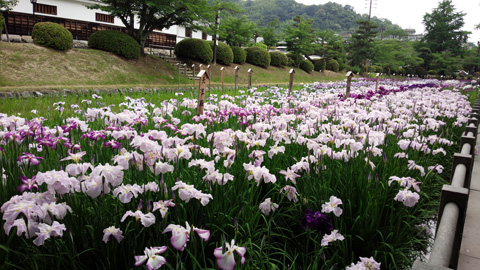 吉香花菖蒲園H26 c