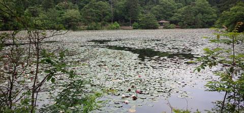 極楽寺 蛇の池 睡蓮