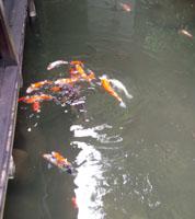 食べ残しは鯉の餌に!