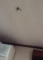天井の蜘蛛