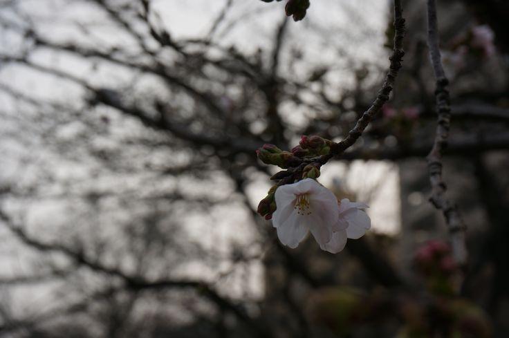 sakura20140318.jpg
