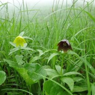 黄花の黒百合