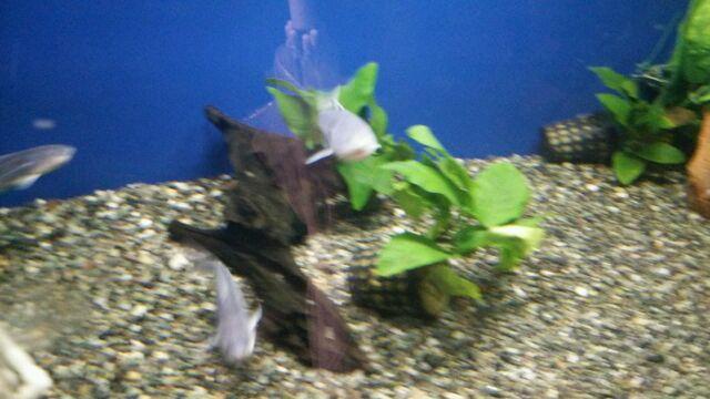 ピラニアより危ない魚