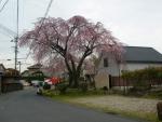 木曽川沿い料亭のしだれ桜