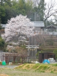 気になっていた桜