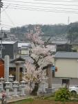 瑞林寺の入口の門のところの桜