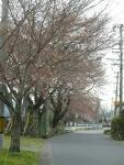 木曽川沿い少し咲き始めた桜並木