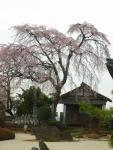 瑞林寺のしだれ桜