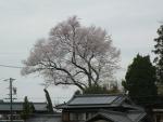 蜂屋の家より大きい桜