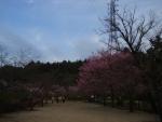 奥の桜の森も、桜満開!