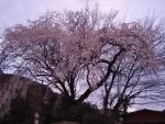 坂祝のしだれ桜